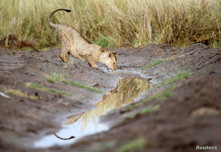 A lion drinks a water in Amboseli National Park, Kenya, March 18, 2017.