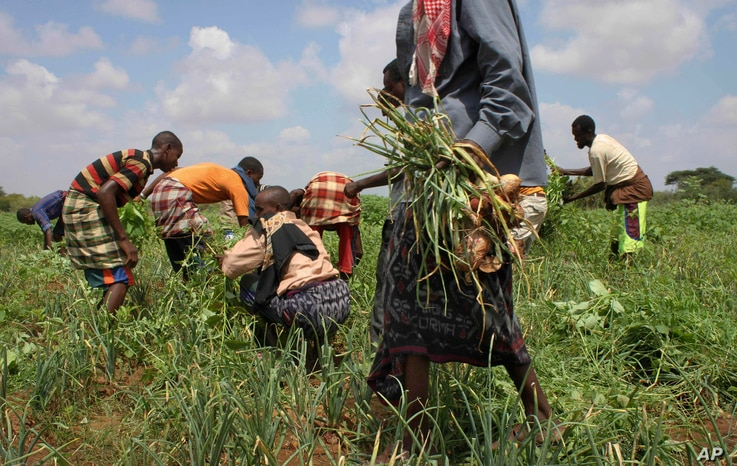 In this Nov. 21, 2011 photo, residents harvest crops at a community-run farm, which receives assistance by the United Nations…