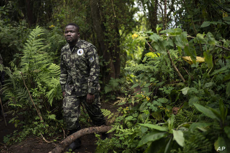 In this Sept. 2, 2019 photo, biologist Jean Paul Hirwa walks down a trail to observe mountain gorillas in the Volcanoes…