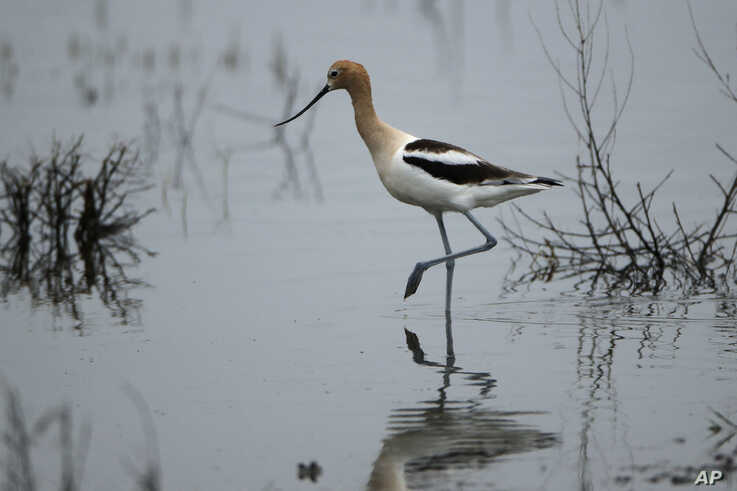 An American avocet searches for food in a wetland near Sterling, N.D., on Friday, June 21, 2019. (AP Photo/Charlie Riedel)