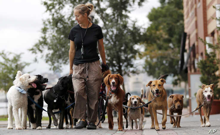 Kathleen Chirico walks several dogs as part of her daily routine as a dog walker, Wednesday, Sept. 30, 2015, in Hoboken, N.J. …