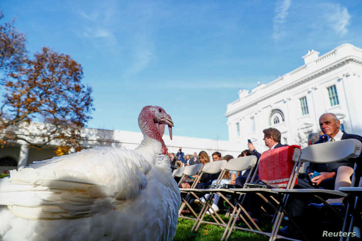 A turkey awaits the arrtival of U.S. President Donald Trump for the presentation and pardoning of the 72nd National…