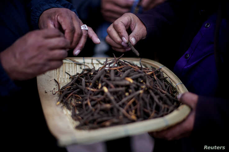 FILE - Buyers check the quality of cordyceps, a fungus believed to possess aphrodisiac and medicinal powers, at a cordyceps trade market in Hainan Tibetan Autonomous Prefecture, in China's western Qinghai province, June 10, 2019.