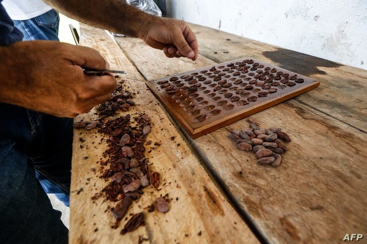 Dry cocoa beans are tested at the Sagarama farm in Coaraci, Bahia state, Brazil, on December 12, 2019. - Brazil was the second…
