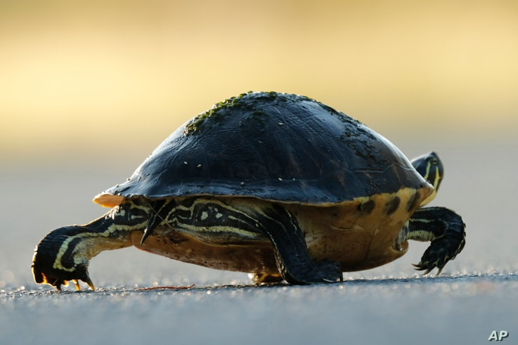 In this Wednesday, Oct. 30, 2019 photo, a Florida red-bellied turtle crosses a park road in Everglades National Park, near…