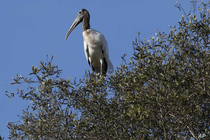 In this Tuesday, Oct. 29, 2019, photo, a wood stork sits on a treetop near Fort Myers, Fla. The species has been down listed…