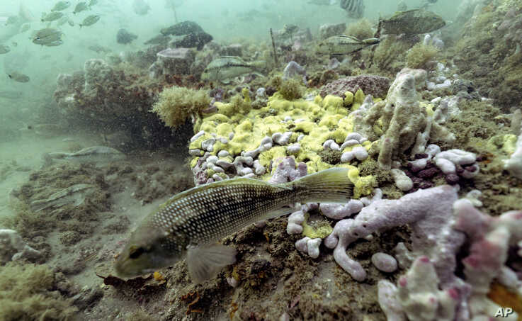 A black sea bass swims along the reef in Gray's Reef National Marine Sanctuary, Monday, Oct. 28, 2019, off the coast of…