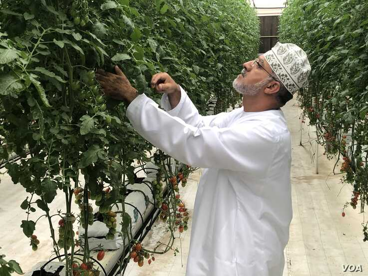 Agronomist Fahd Bin Salah explains the high tech greenhouse systems Qatar is using to grow cherry tomatoes in Al Khor, 50 km north of the capital Doha. (J.Wirtschafter/VOA)