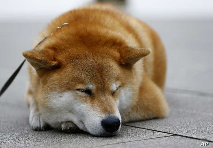FILE - A Shiba Inu dog relaxes at Ueno Park in Tokyo, Japan, Dec. 23, 2015.