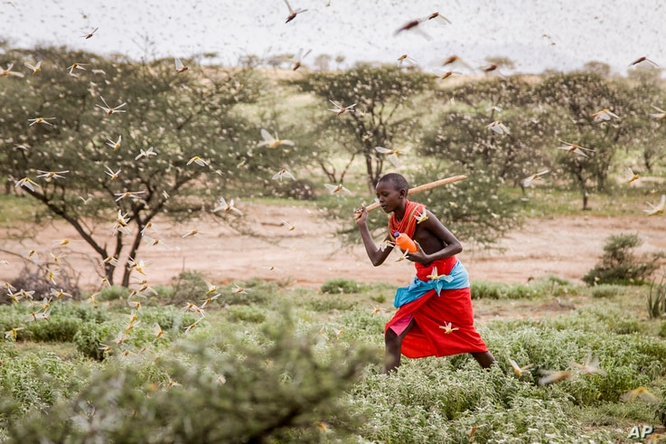 A Samburu boy uses a wooden stick to try to swat a swarm of desert locusts filling the air, as he herds his camel near the village of Sissia, in Samburu county, Kenya, Jan. 16, 2020.