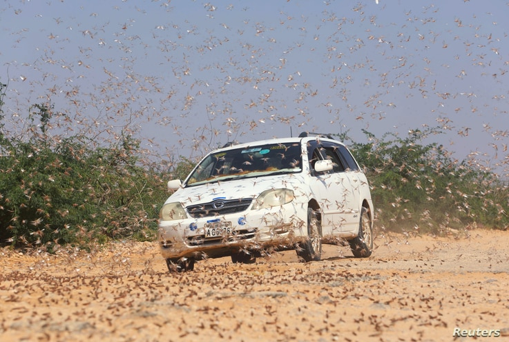 FILE -  A motorist drives within desert locusts near a grazing land on the outskirt of Dusamareb in Galmudug region, Somalia, Dec. 22, 2019.