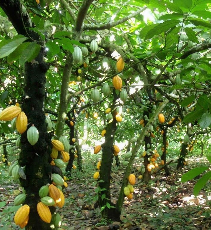 The cacao bean comes from pod-like fruits from trees in places such as Mexico's Chiapas, Tabasco, Guerrero and Oaxaca regions.