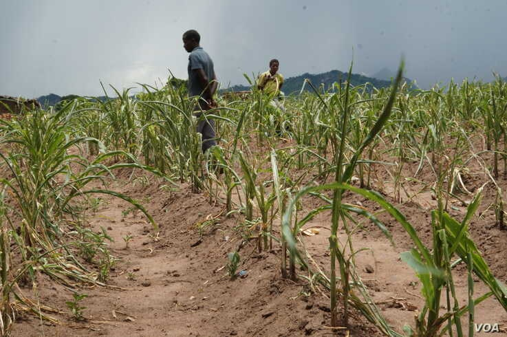 Malawian farmers like these who  who lost their crops to drough and armyworms are will highly be affected by the lockdown. (Lameck Masina/VOA)