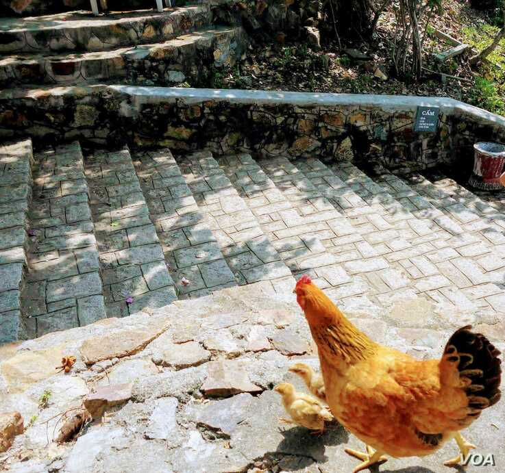 A hen tends to her chicks outside Ho Chi Minh City, Vietnam.