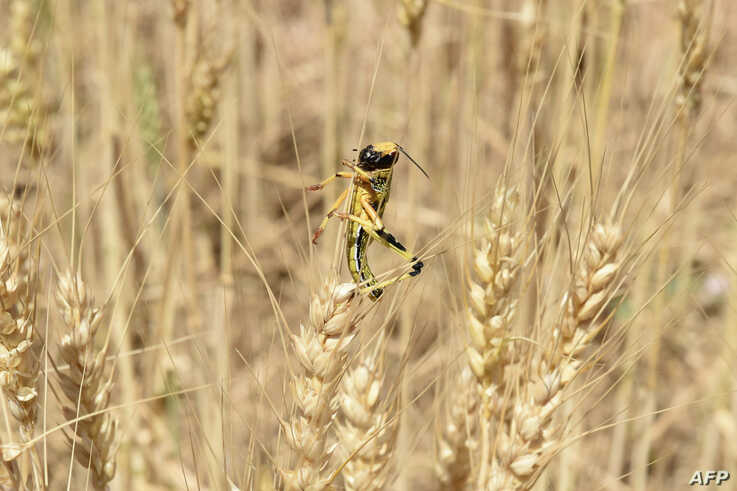 A locust is pictured in a field in Pishin district, some 60 km form Quetta, Pakistan, May 14, 2020.