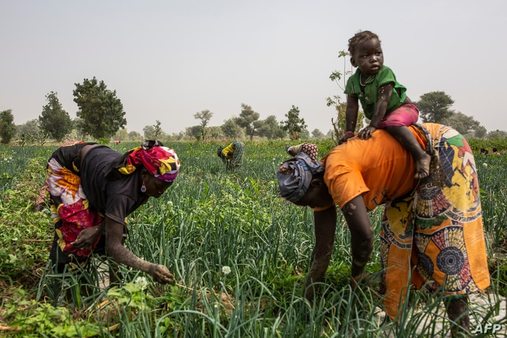Women work at an onion field near Gazawa on March 7, 2020. - The Far North is the region in Cameroon with the biggest…
