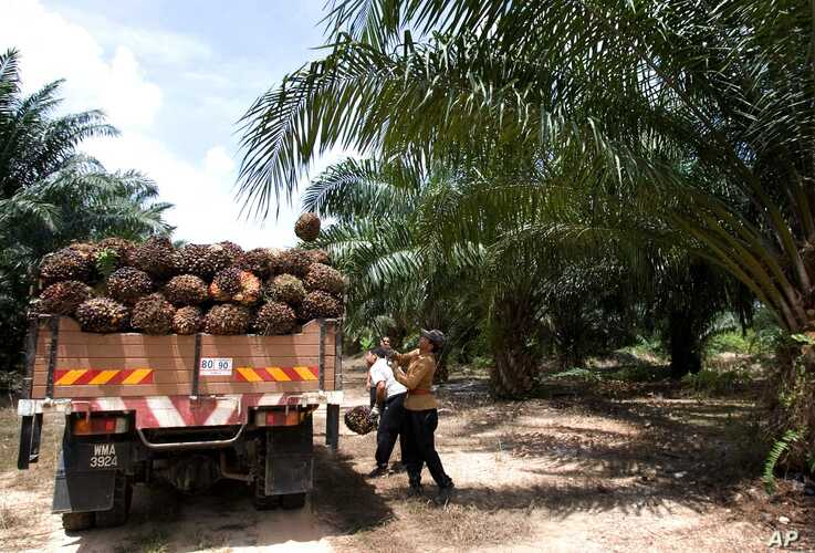 FILE - A worker loads palm oil fruits onto a lorry at a palm oil plantation in Sepang, Malaysia.