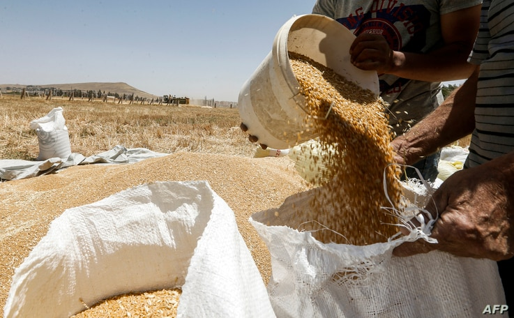 A farmer pours a bucket of wheat kernels into a sack during the harvest season, in a field in the countryside of al-Kaswa,…