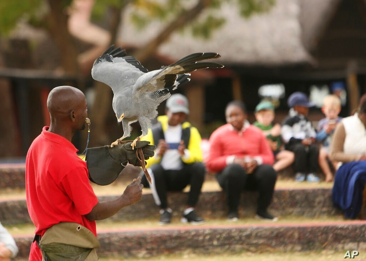 A bird handler prepares a bird for flight at the the bird sanctuary Kuimba Shiri, near Harare, Zimbabwe, Wednesday, June, 17,…