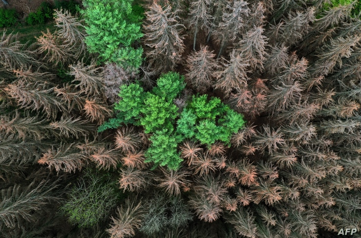 An aerial view shows dead spruce trees suffering from drought stress in a forest near Iserlohn, western Germany, on April 28,…