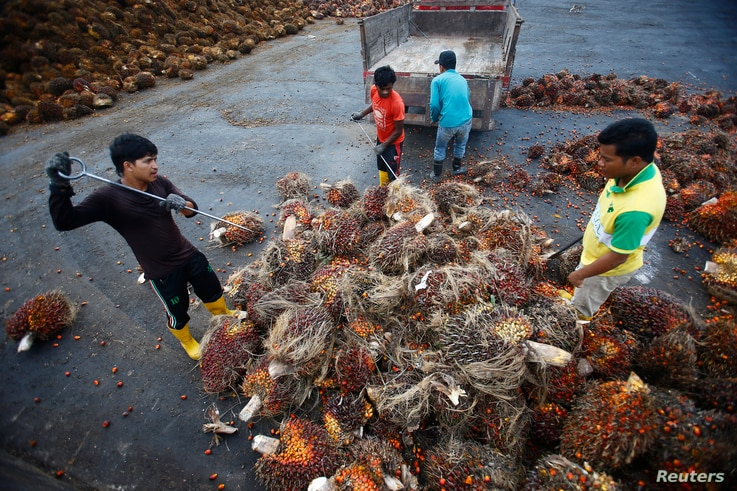 Workers collect palm oil fruits inside a palm oil factory in Salak Tinggi, outside Kuala Lumpur August 4, 2014. Palm oil…