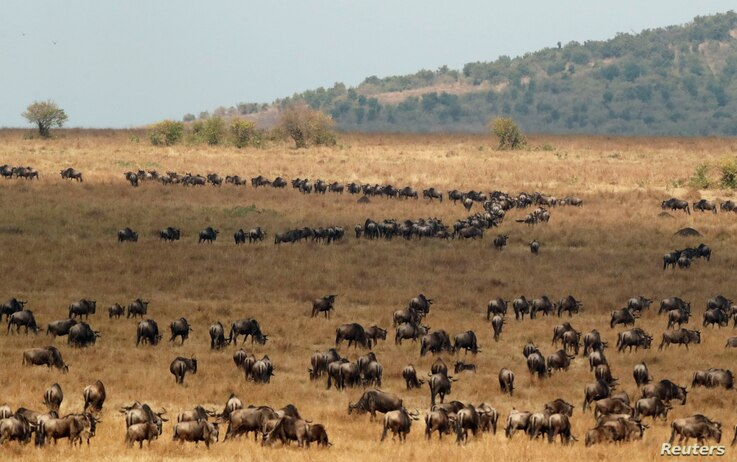 Wildebeests cross the Mara river during their migration to the greener pastures, in the Maasai Mara game reserve, Kenya, Aug. 9, 2020.