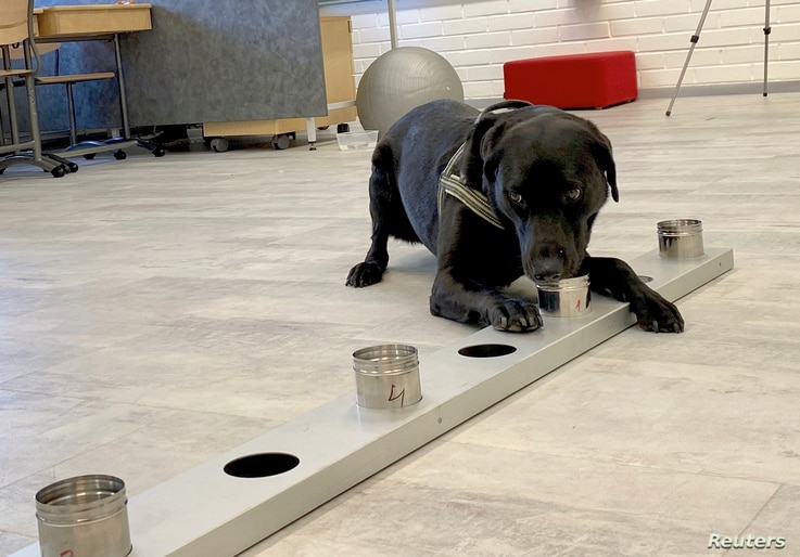 Sniffer dog Miina, being trained to detect the coronavirus from the arriving passengers samples, works in Helsinki Airport in…