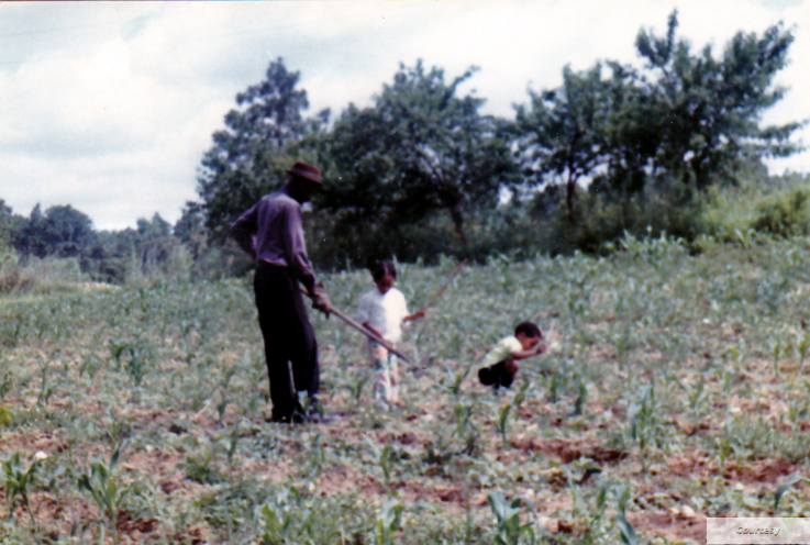 Picture of David Satcher as a child picking cotton with his father and older brother on the family farm. (Photo courtesy of Satcher family)