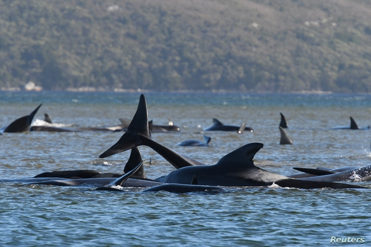 A pod of whales, believed to be pilot whales, is seen stranded on a sandbar at Macquarie Harbour, near Strahan, Tasmania, Australia.