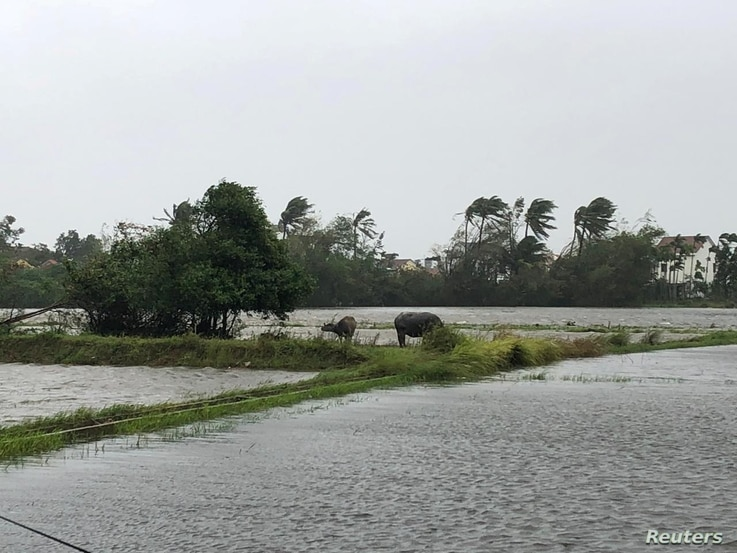 Cattle stand in a flooded field as Typhoon Molave sweeps through Hoi An, Vietnam October 28, 2020 in this image obtained from…