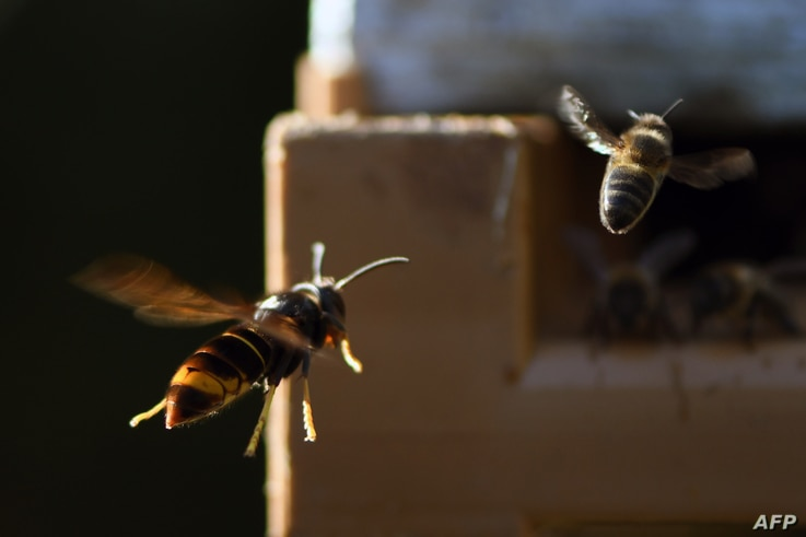 FILE - An Asian hornet chases a bee near a beehive in Loue, northwestern France, Sept. 14, 2019.