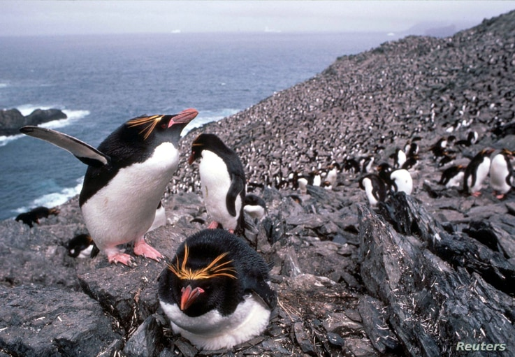 Macaroni penguins in the colony of some 2.5 million breeding pairs on the island of South Georgia in the South Atlantic, August…