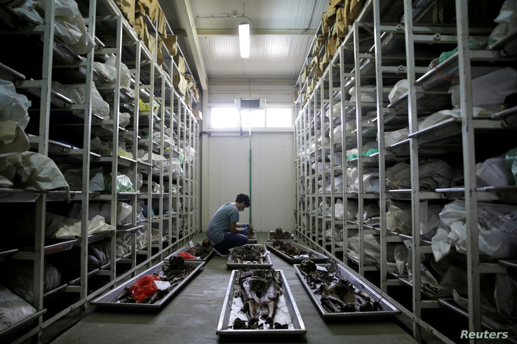 FILE - A forensic anthropologist of the International Commission on Missing Persons (ICMP) works to identify the remains of a victim of the Srebrenica massacre, at the ICMP center near Tuzla, Bosnia and Herzegovina, July 6, 2016.