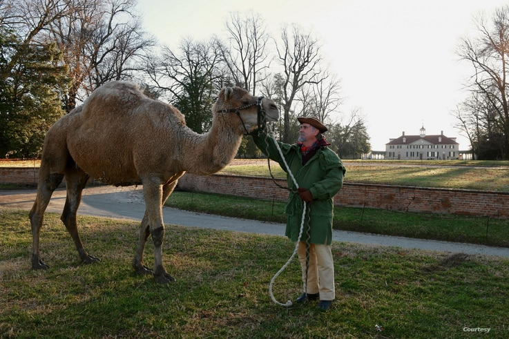 Aladdin the Christmas camel with Tom Plott, who portrays President Washington's farm manager.