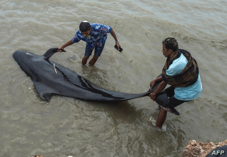 People try to save a short-finned pilot whale beached in Bangkalan, Madura island on February 19, 2021, as some 49 pilot whales…