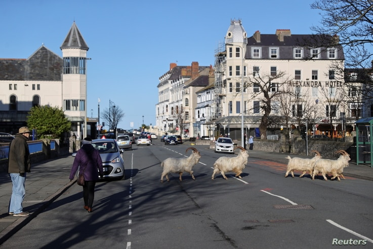 Goats cross a street, as the spread of the coronavirus disease (COVID-19) continues, Llandudno, Wales, Britain February 22,…