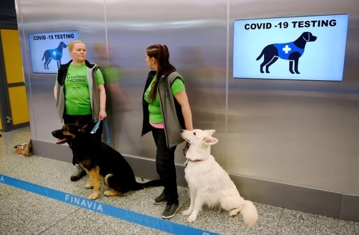 In a pilot program at Sweden's Helsinki airport, trained dogs could determine if arriving passengers were infected with COVID-19. The volunteer passengers wiped their skin with a cloth for the dogs to smell. (Courtesy photo)