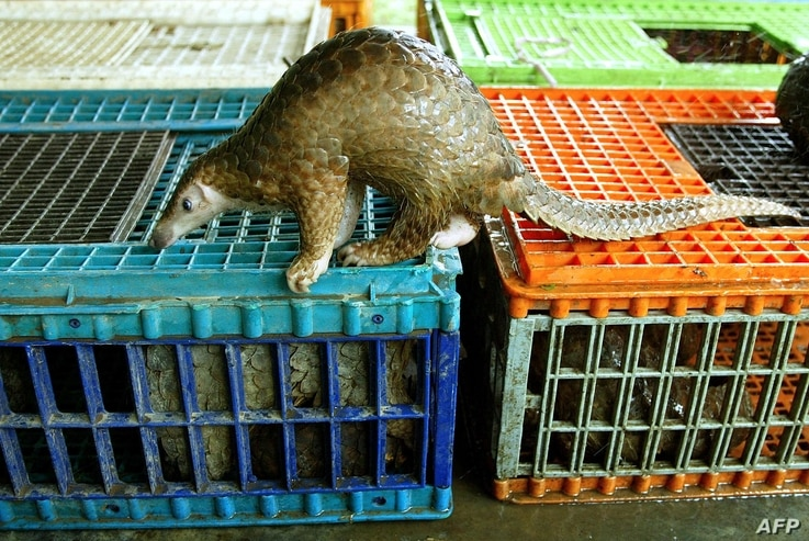 A Malayan pangolin is seen out of its cage after being confiscated by the Department of Wildlife and Natural Parks in Kuala…