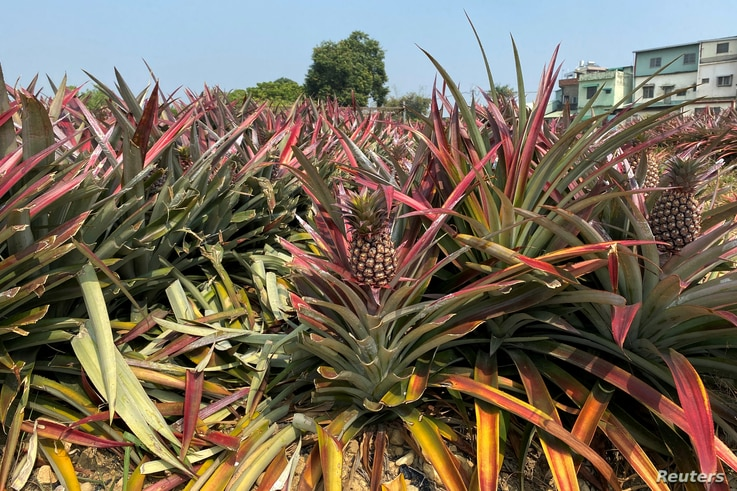 FILE PHOTO: Pineapples grow in a field in Kaohsiung, Taiwan February 27, 2021. REUTERS/Ben Blanchard/File Photo