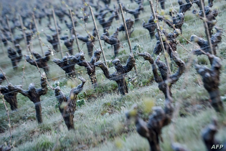 A picture shows frozen vines in the Luneau-Papin wine estate vineyard in Le Landreau, near Nantes, western France, on April 12, 2021, as temperatures fall below zero degrees celsius.