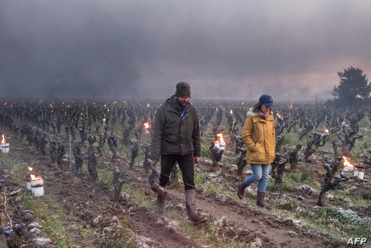 Winegrowers Pierre-Marie (L) and Marie Luneau check vines during the burning of anti-frost candles in the Luneau-Papin wine…