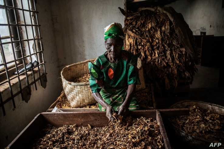 A Malawian Tobacco Farm employee is at work during a grading process at a Tobacco Farm on May 20, 2014 in Zomba Municipality,…