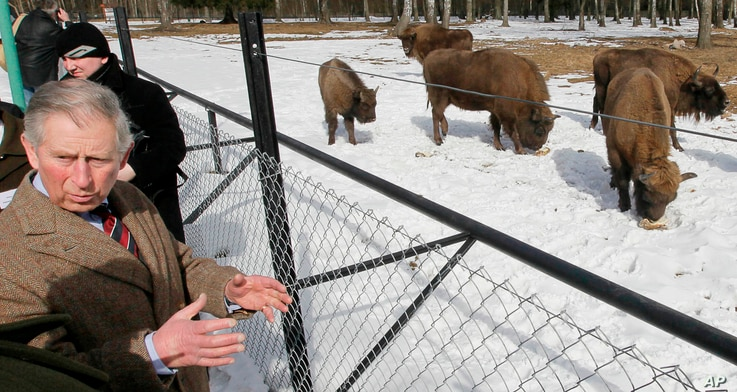 FILE - In this file photo taken March 16, 2010, Britain's Prince Charles views bison at a reserve in Poland's Bialowieza forest...