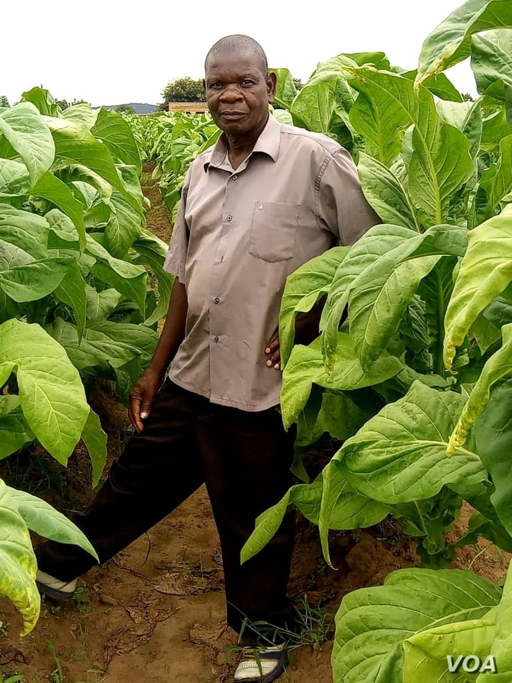 Griffins Kaliza in his tobacco farm  in Malawi's central Mchinji dsitrict--Photo by Lameck Masina