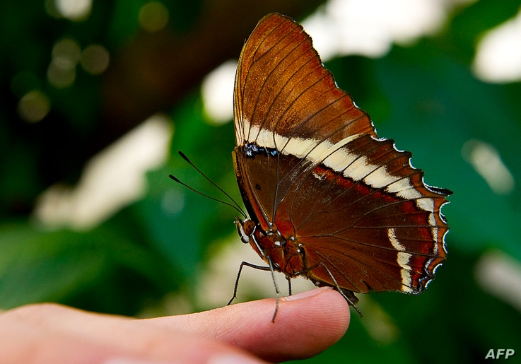 A Siproeta Ephaphus butterfly lands on the Finger of a man at the Botanic Garden Jose Celestino Mutis during a  exhibition in…