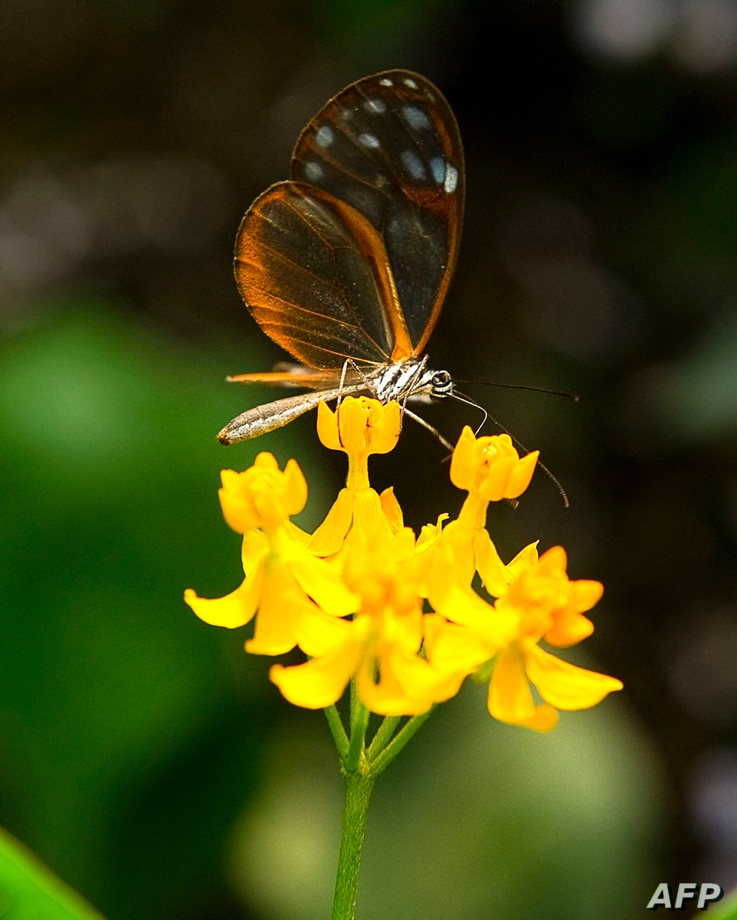 """An Alissa de Pteronymia """"Crystal wings"""" butterfly lands on the flower at the Botanic Garden Jose Celestino Mutis during an…"""