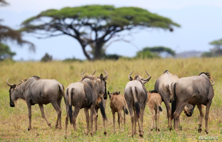 Wildebeests are seen in the Kimana Sanctuary, which is part of a crucial wildlife corridor that connects Amboseli National Park to…