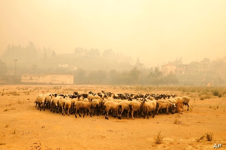 Sheep gather during a wildfire near Limni village on the island of Evia, about 160 kilometers (100 miles) north of Athens,…