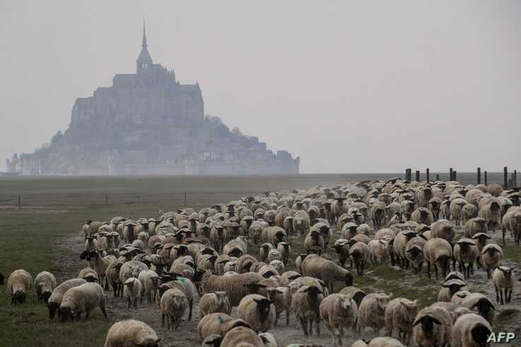 Sheep walk back to their shelter near the Mont-Saint-Michel, northwestern France on March 28, 2020 during a lockdown in France…