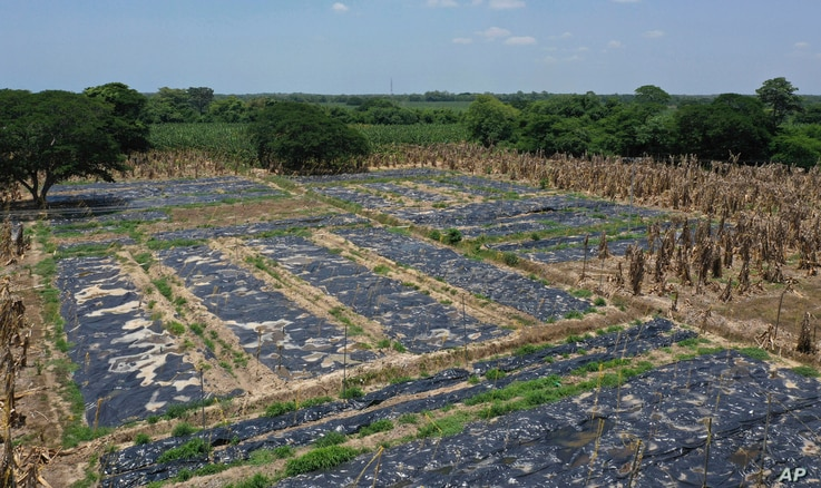 Black, plastic sheets cover a banana plantation hit by a disease that ravages the crops on a plantation near Riohacha, Colombia, Thursday, Aug. 22, 2019. Officials have uprooted trees where the fungus has been detected and covered the soil with…